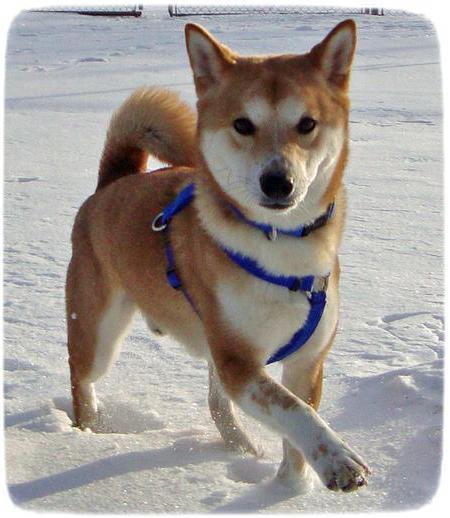 Shiba Inu Puppy Red
