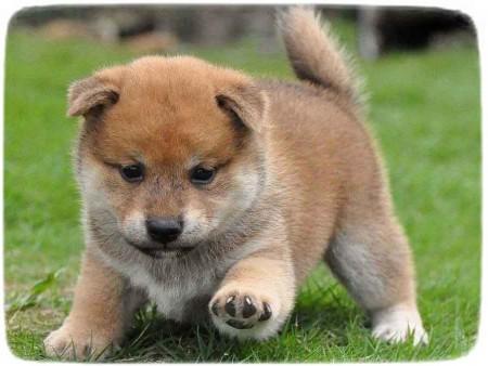 Shiba Inu Puppy Wallpaper