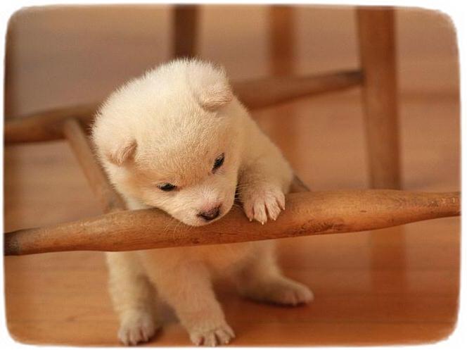 Shiba Inu Puppy White