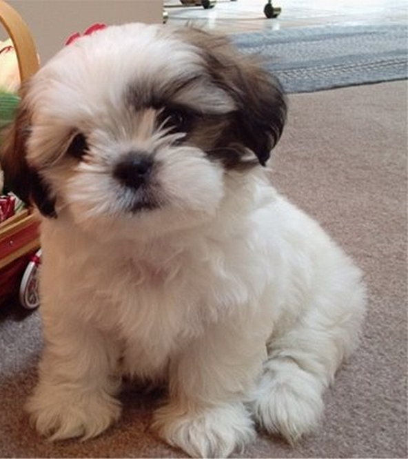 Shih Tzu Dog Images