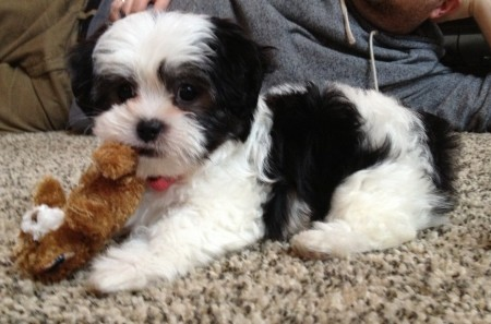 Shih Tzu Dogs Black And White