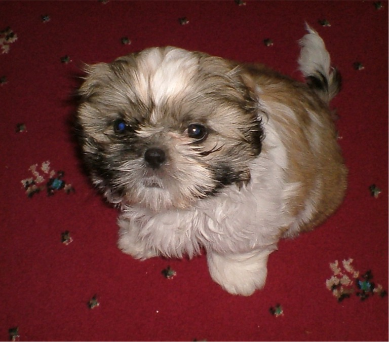 Shih Tzu Dogs Brown And White