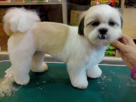 Shih Tzu Dogs Haircuts