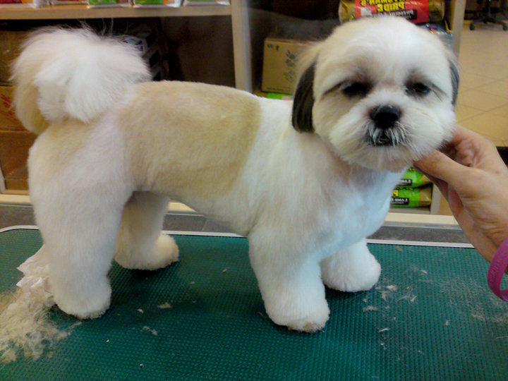 Shih Tzu Dogs Haircuts