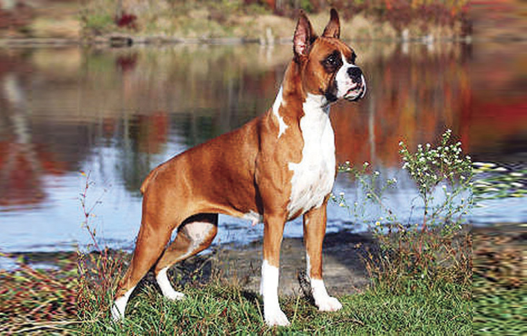 Short Haired Medium Sized Dog Breeds