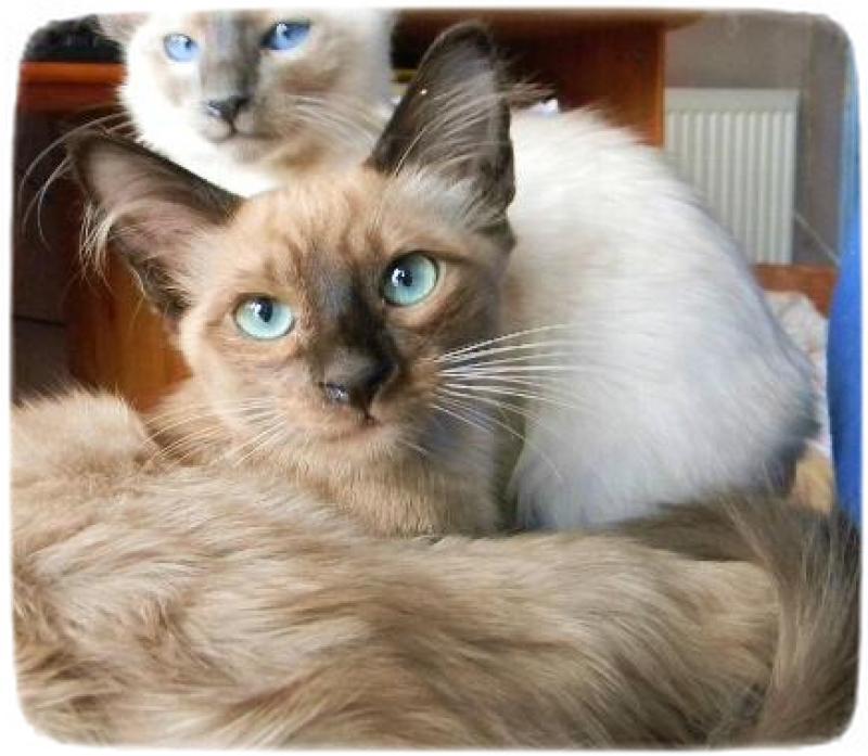 Siamese Cat Rescue Colorado