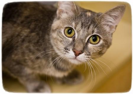 Siamese Cat Rescue Dallas