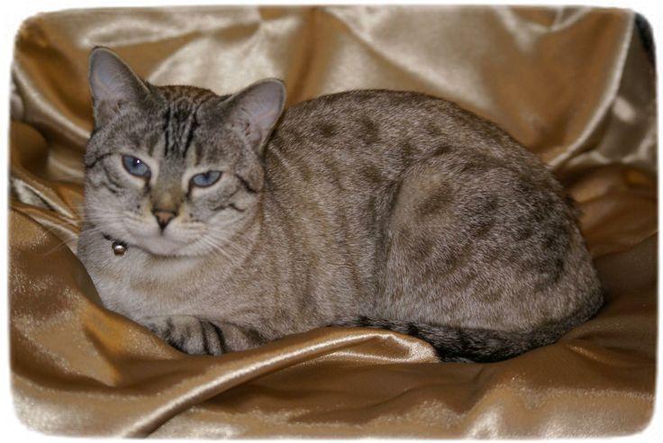 Siamese Cat Rescue Florida