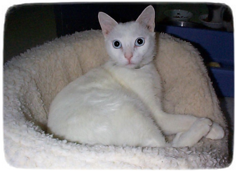 Siamese Cat Rescue Ma