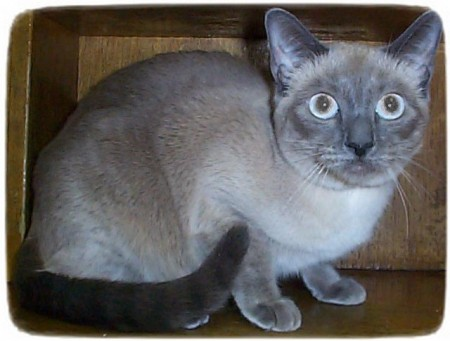 Siamese Cat Rescue Ny