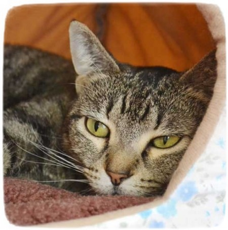 Siamese Cat Rescue San Diego