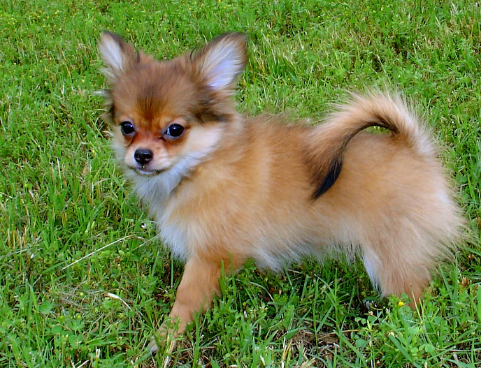 Small Breed Dogs Short Hair