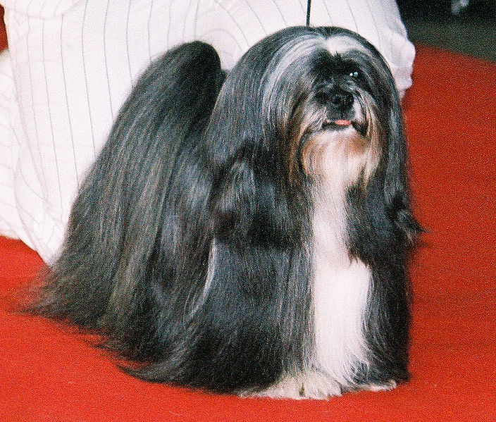Small Breed Dogs With Long Hair