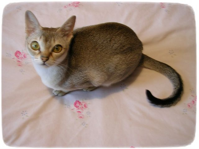 Small Cat Breeds Singapura