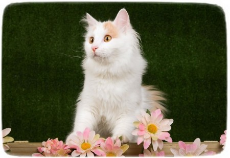 Small Cat Breeds Uk