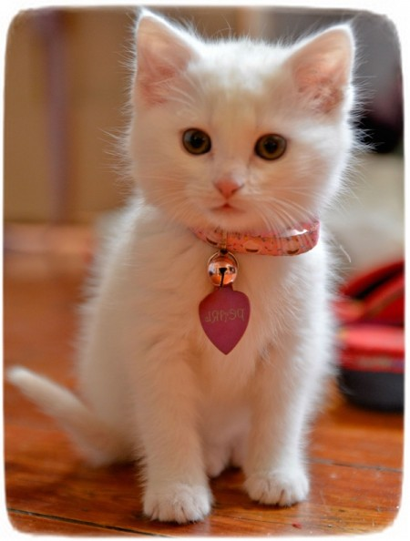 Small Cat Breeds With Pictures