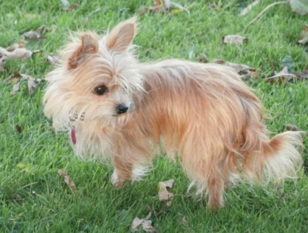 Small Dog Breeds Uk