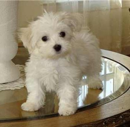 Small Dogs Breeds Pictures