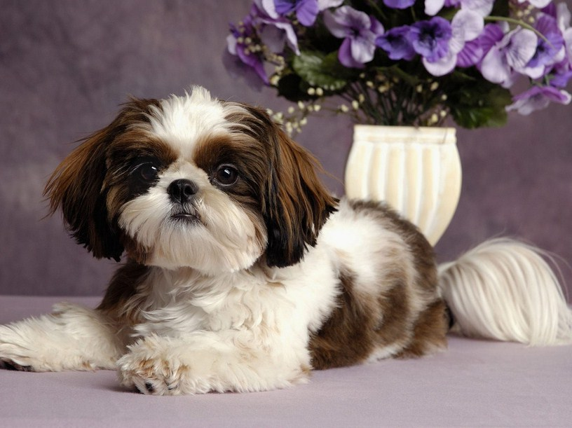 Small Non Shedding Dog Breeds Pictures