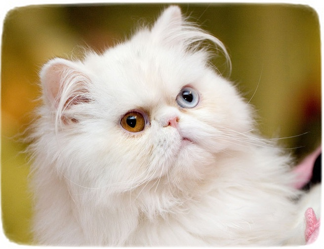 Smallest Cat Breed Ever