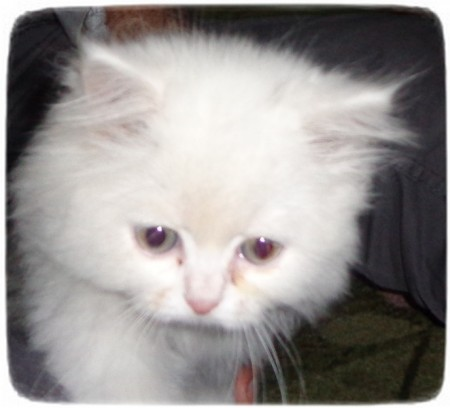 Smallest Cat Breeds List