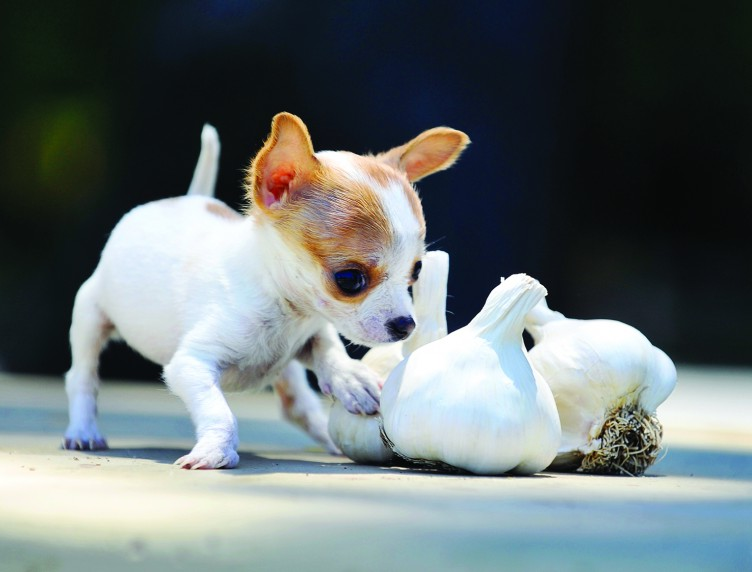 Smallest Dog In The World 2012