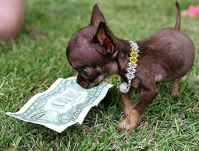 Smallest Dog In The World 2013