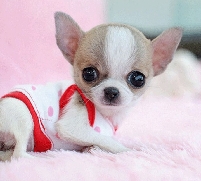 Smallest Dog In The World 2014