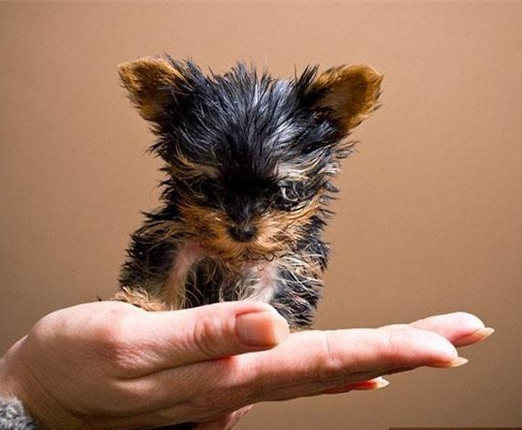 Smallest Dog In The World Ever