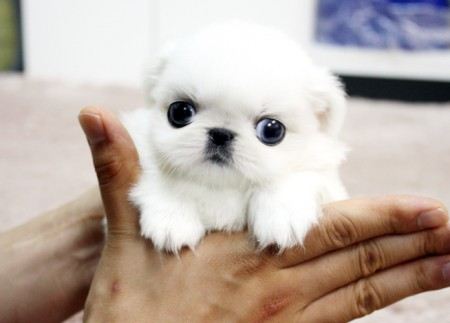 Smallest Teacup Dog Breeds