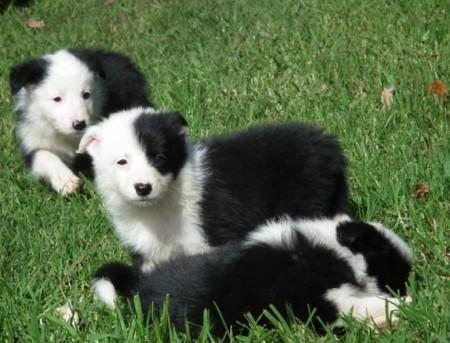 Smartest Dog Breeds List