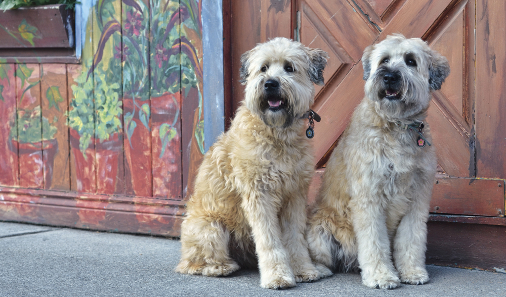 Smartest Dog Breeds Wheaten Terrier