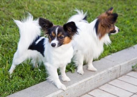 Smartest Dog Breeds Wiki