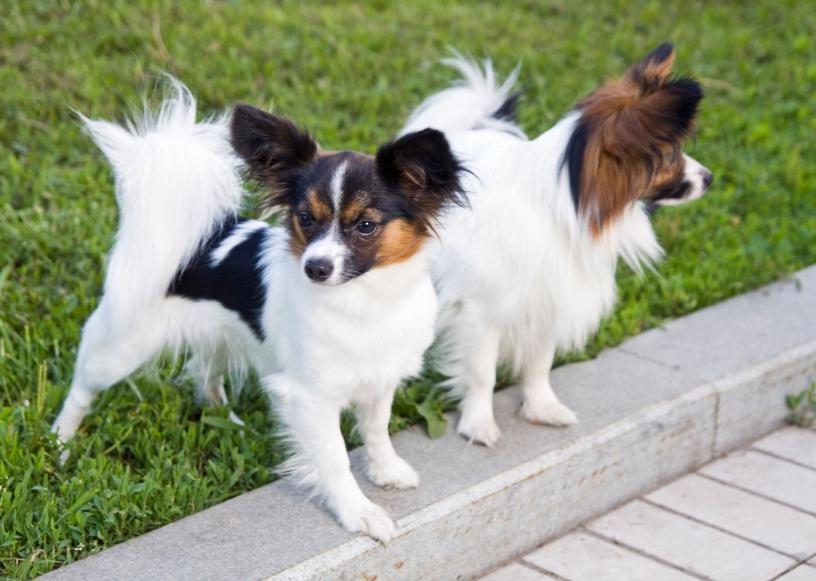 Smartest Dog Breeds Wiki