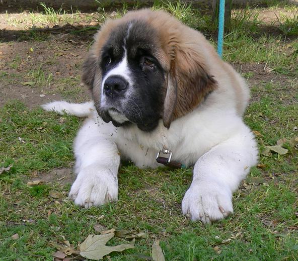 St Bernard Puppies Photos