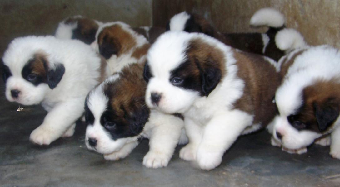 St Bernard Puppies Pictures