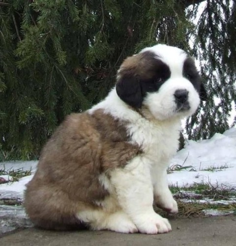 St Bernard Puppies Wallpaper