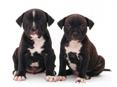 Staffordshire Bull Terrier Puppies Pictures