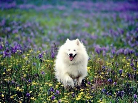 Standard American Eskimo Puppies