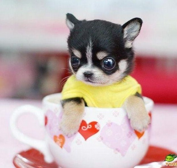 Teacup Dog Breeds List And Pictures