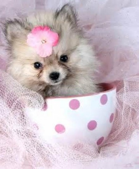 Teacup Dog Breeds Uk