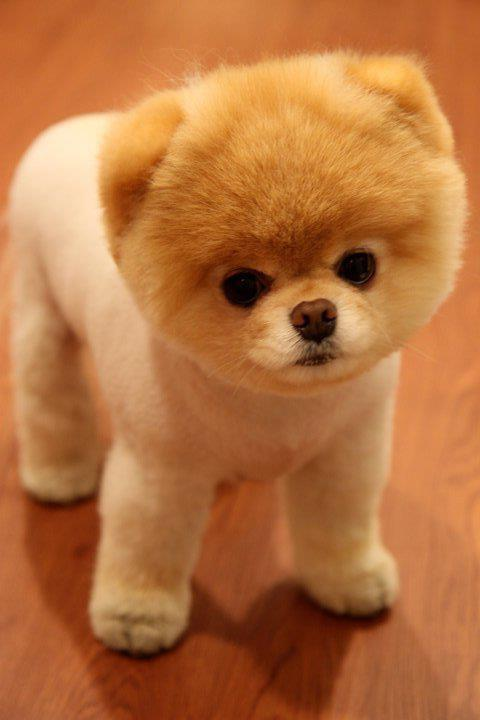 Teddy Bear Dog Breed Pictures