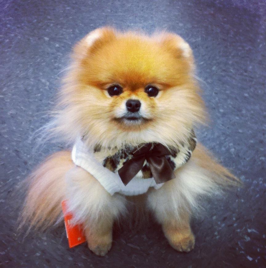 Teddy Bear Dog Breed