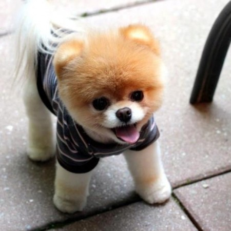 Teddy Bear Dog Cut Pictures