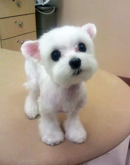 Teddy Bear Dog Cut