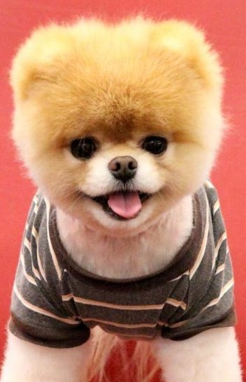 Teddy Bear Dog Pictures