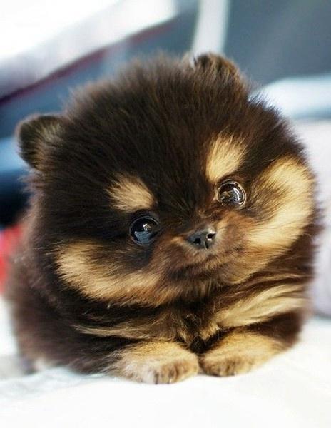 Teddy Bear Dog Puppies