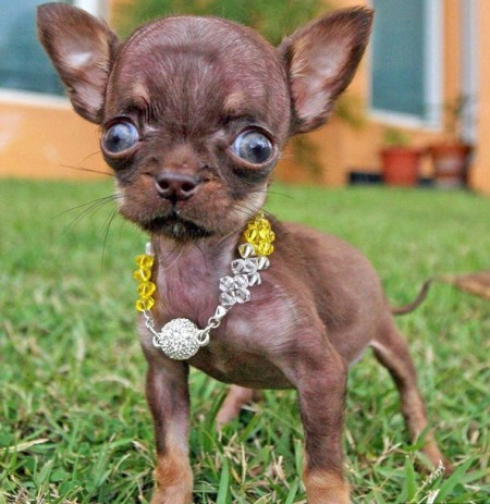 The Smallest Dog In The World Guinness World Records