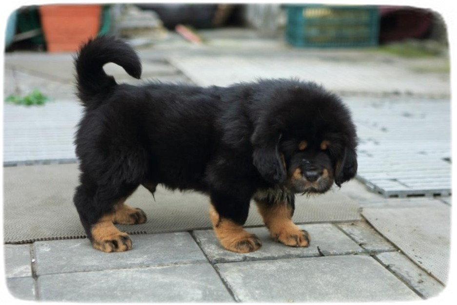 Tibetan Mastiff Puppy Images