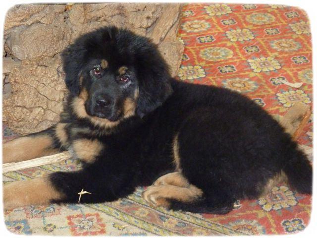 Tibetan Mastiff Puppy Pic